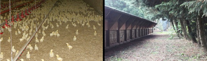 freerange chickens