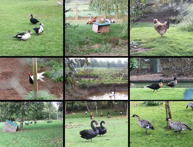 ducks, geese, birds