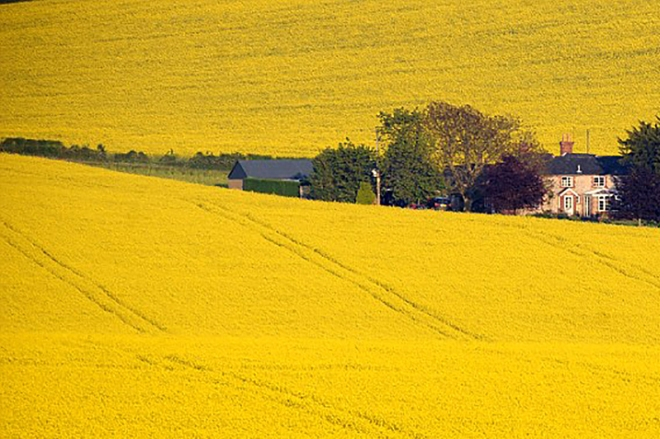 Rapeseed Fields in Full Bloom