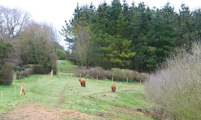 The highland cattle at the Garlic Farm