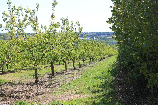 Apricot Orchard on the Isle of Wight