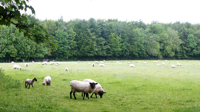 The sheep grazing in one of the 92 fields Home Farm manage.