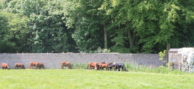 Male Dairy Shorthorn calves out enjoying the sunshine