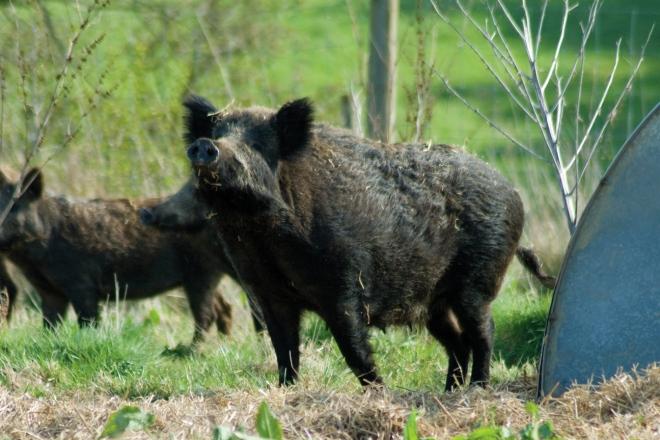 Laverstoke wild boar